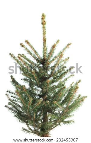 Small, real undecorated bare Christmas tree. - stock photo