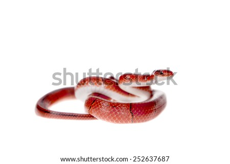 Small red bamboo snake isolated on white - stock photo