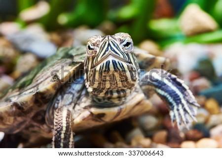 Small red-ear turtle in aquarium - stock photo