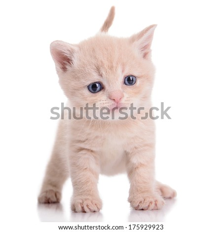 small red kitten Scottish breed. animal isolated on white background - stock photo