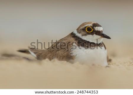 Small sandpiper on the nest (little ringer plover) - stock photo
