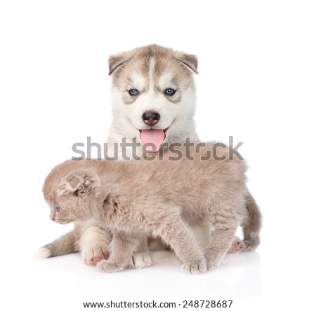 Small scottish cat and Siberian Husky puppy dog together. isolated on white background - stock photo