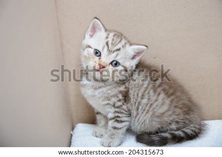 Small Scottish fold kitten the age of 1 month - stock photo