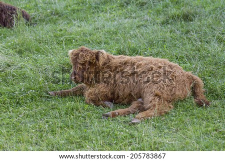 Small scottish highland cow calf resting on grass - stock photo