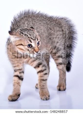 Small Scottish straight kitten looking scared. Studio shot. - stock photo