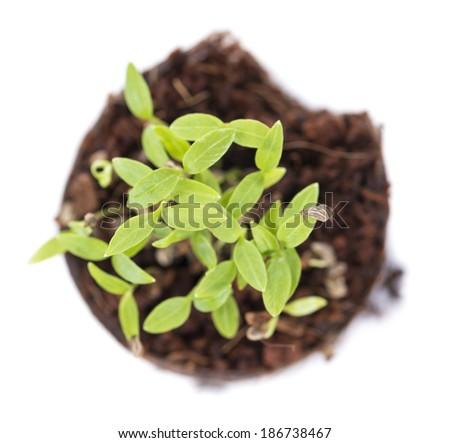 Small Seedling isolated on white background (close-up shot) - stock photo