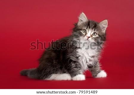 Small siberian kitten on dark red background - stock photo
