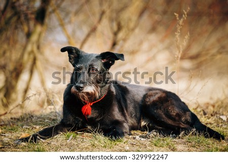 Small Size Black Mixed Breed Dog Resting In Dry Grass In Spring Autumn Season Outdoor. - stock photo
