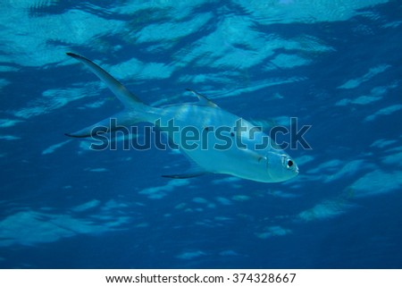 Small spotted dart fish (Trachinotus baillonii) in shallow waters of the indian ocean  - stock photo