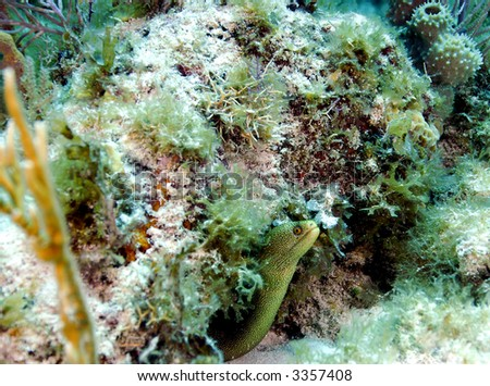 Small spotted Moray Eel peering from under coral - stock photo