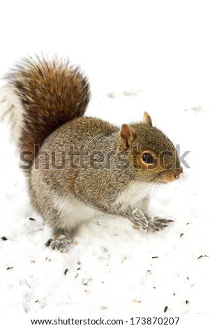 Small squirrel exploring it's surroundings after snowstorm - stock photo