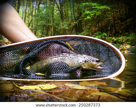 Small Stream Brown Trout - stock photo