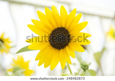 Small sunflower closeup with white fence in the background, blended with a textured background for a more painterly feel - stock photo