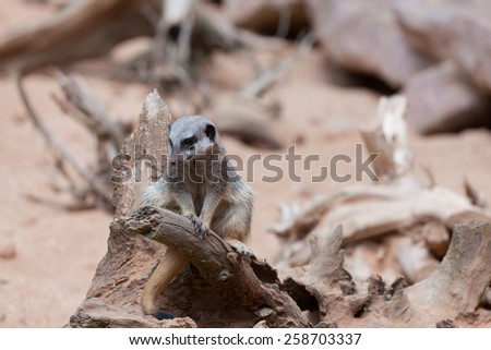 Small surikait sits on a big snag - stock photo