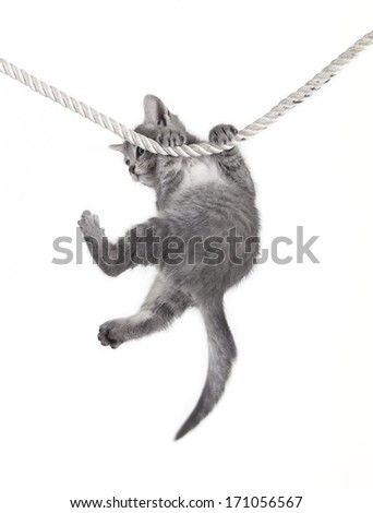 small tabby cat baby hanging on rope, white background, isolated - stock photo