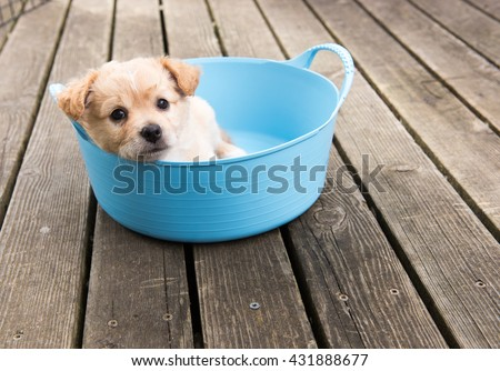 Small Tan Terrier Mix Puppy Sitting in Blue Rubber Basket - stock photo
