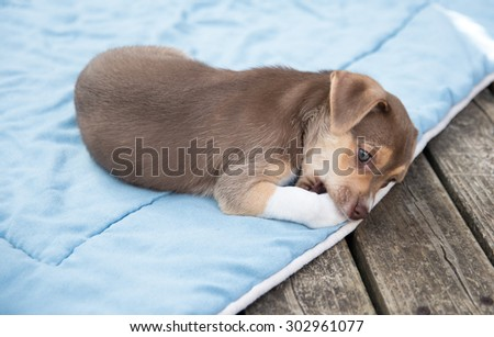 Small Terrier Mix Puppy Relaxing Outside on Blanket - stock photo