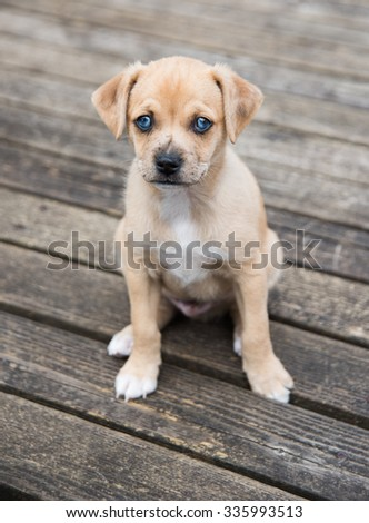 Small Terrier Mix Puppy Sitting Outside on Wooden Deck - stock photo