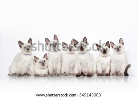 Small thai kittens on white background - stock photo