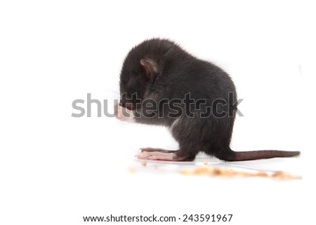 Small three to four week old baby rat eating morsels on a white background - stock photo