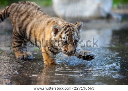 small tiger cub playing with water - stock photo