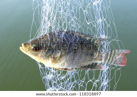 Small tilapia fish trapped in trawl - stock photo