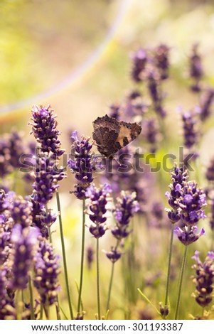 Small Tortoiseshell (Aglais urticae) on lavender - stock photo