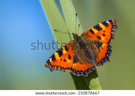 Small tortoiseshell (Aglais urticae) perched on a leaf with green and blue background about to fly away - stock photo