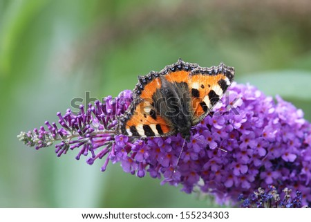 Small Tortoiseshell (Aglais urticae) sitting on the blossom of a butterfly bush. - stock photo