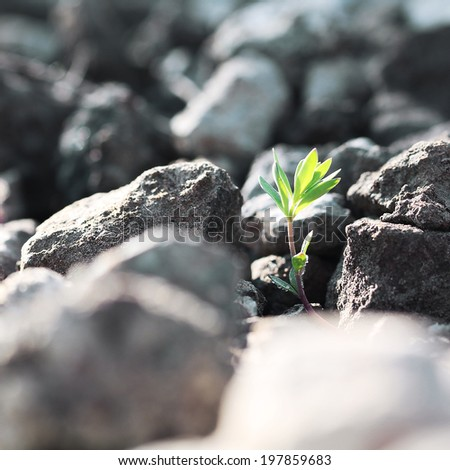 small tree growing against stones and symbolizes struggle - stock photo