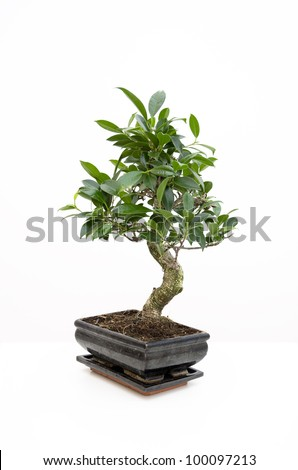 Small tree in traditional Japanese style bonsai Classic bonsai / Bonsai in a pot on white - stock photo