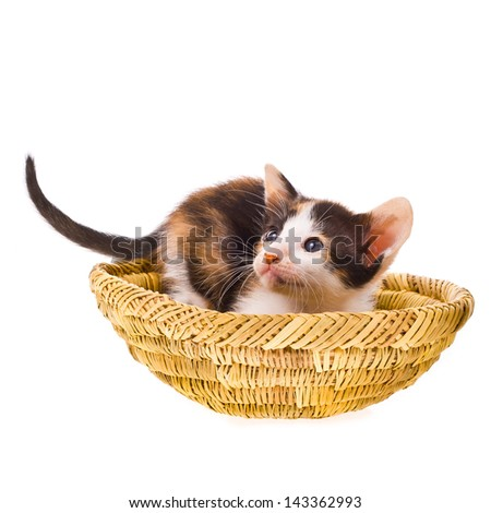 small tri-color calico kitten, raised tail and hid in a wicker basket isolated on white background - stock photo