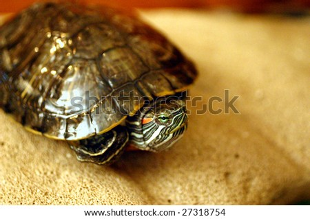 Small turtle - stock photo