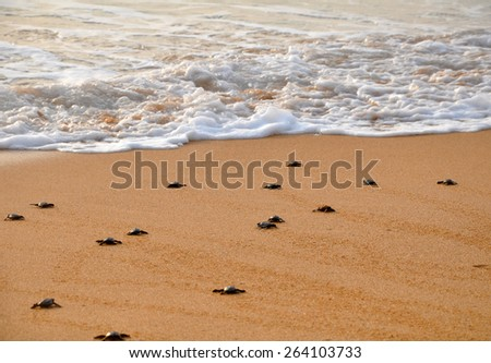 Small turtle migrates to the ocean - stock photo