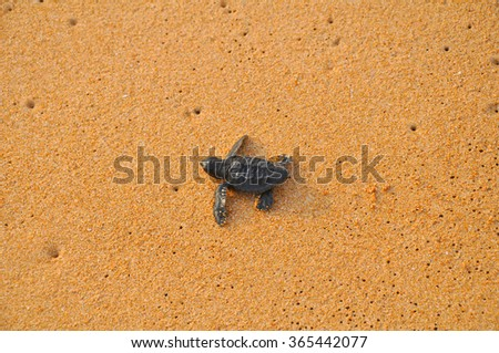 Small turtle migrating to the ocean - stock photo