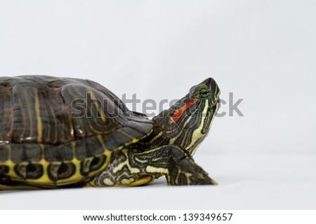 Small turtle on white background - stock photo