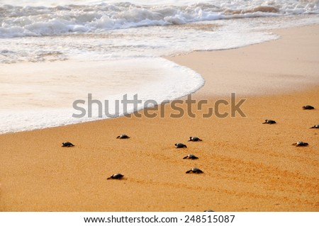 Small turtles backing to the ocean - stock photo