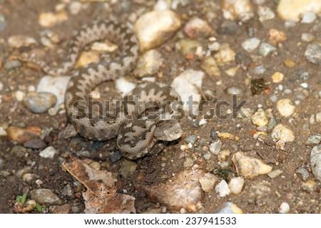 small vipera ammodytes on gravel, preparing for a strike ( Vipera ammodytes ) - stock photo