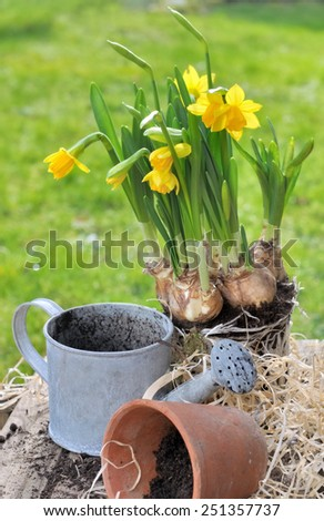 small watering can and pot  with daffodils in bloom on mulching - stock photo
