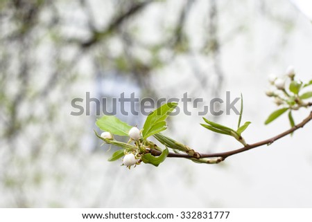 Small white apple flower burgeons on a branch