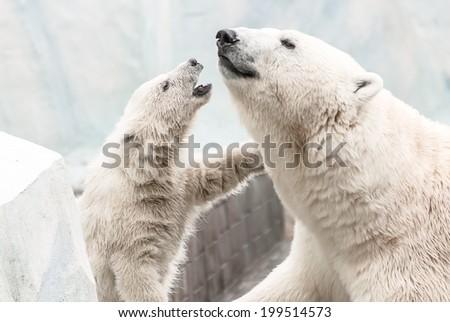 small white bear cub near mother - stock photo