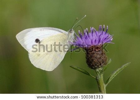 Small White butterfly (Pieris rapae) feeding on black knapweed (Centaurea nigra) - stock photo