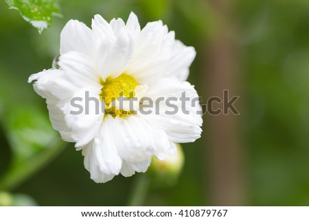 Small white flower Small white flower with yellow stamens. - stock photo