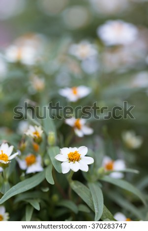 Small white flowers With yellow stamens in full bloom in the garden. - stock photo