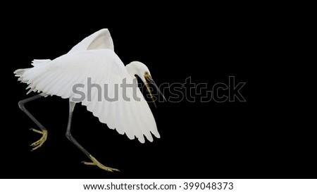 Small white heron flies isolated on black background - stock photo