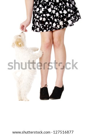 Small white puppy jumping up leaning on a woman's legs for a treat isolated on a white background - stock photo