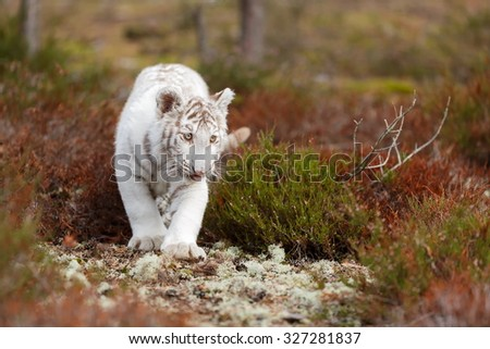 small white tiger - stock photo