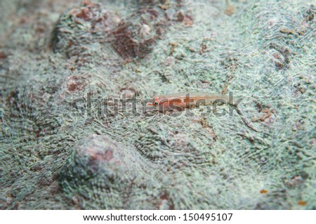 Small Wrasse on Hard Coral  - stock photo