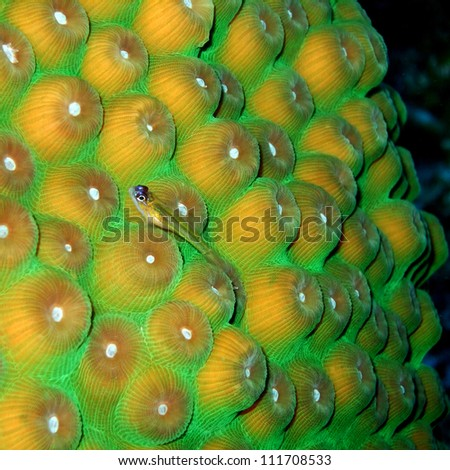 Small Wrasse on Hard Coral - A small, translucent wrasse, with bulging eyes, rests on fluorescent green hard coral. Eel Garden, North West Point, Providenciales, Turks & Caicos, British West Indies. - stock photo