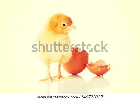 Small yellow chick with crushed egg.  - stock photo